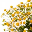 Medical chamomile — Stock Photo #10762537