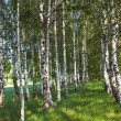 Birch forest. Birch Grove. — Stock Photo #10762596