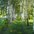 Birch forest. Birch Grove. - Stock Photo