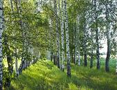 Birch forest. Birch Grove. — Stock Photo