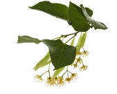 Linden branch isolated — Stock Photo