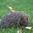 Hedgehog on the green grass — Stock Photo