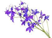 синие луговые цветы изолированные — Стоковое фото