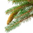 Spruce branch with cone isolated — Stock Photo