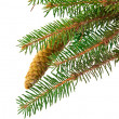 Spruce branch with cone isolated — ストック写真