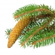 Стоковое фото: Spruce branch with cone isolated