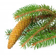 Spruce branch with cone isolated — Stockfoto