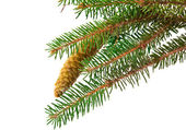 Spruce branch with cone isolated — Stock fotografie
