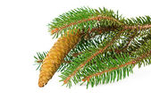 Spruce branch with cone isolated — 图库照片