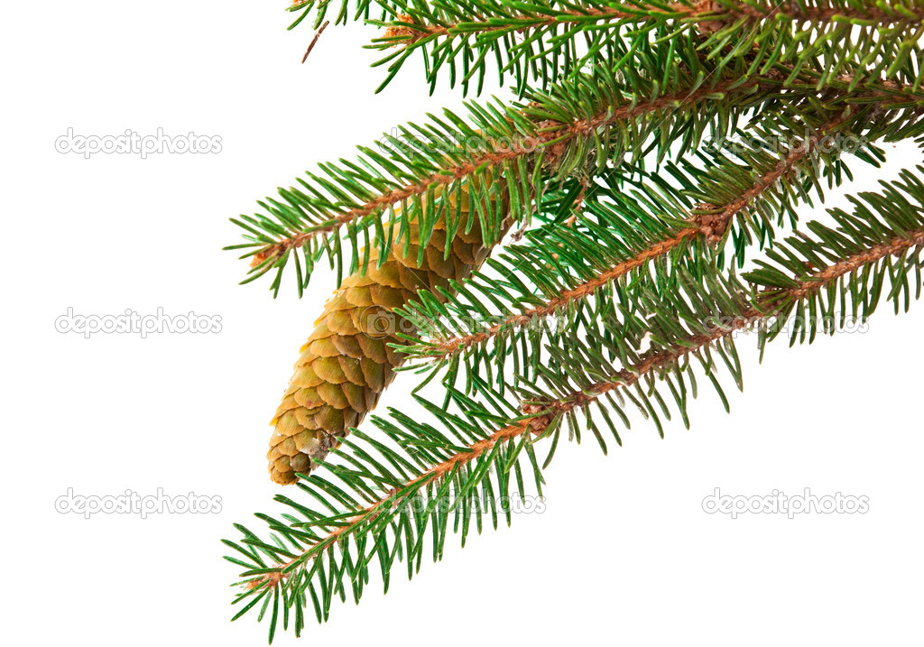 Spruce branch with cone isolated on white background — Foto de Stock   #11072798