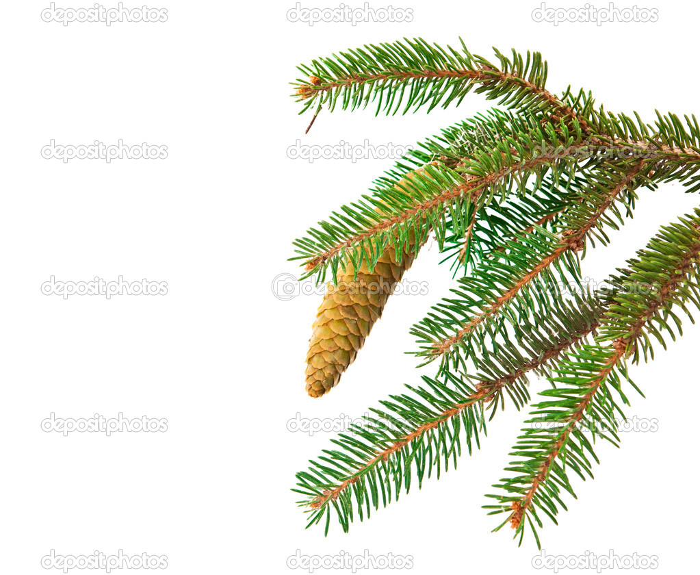 Spruce branch with cone isolated on white background — Stockfoto #11072804