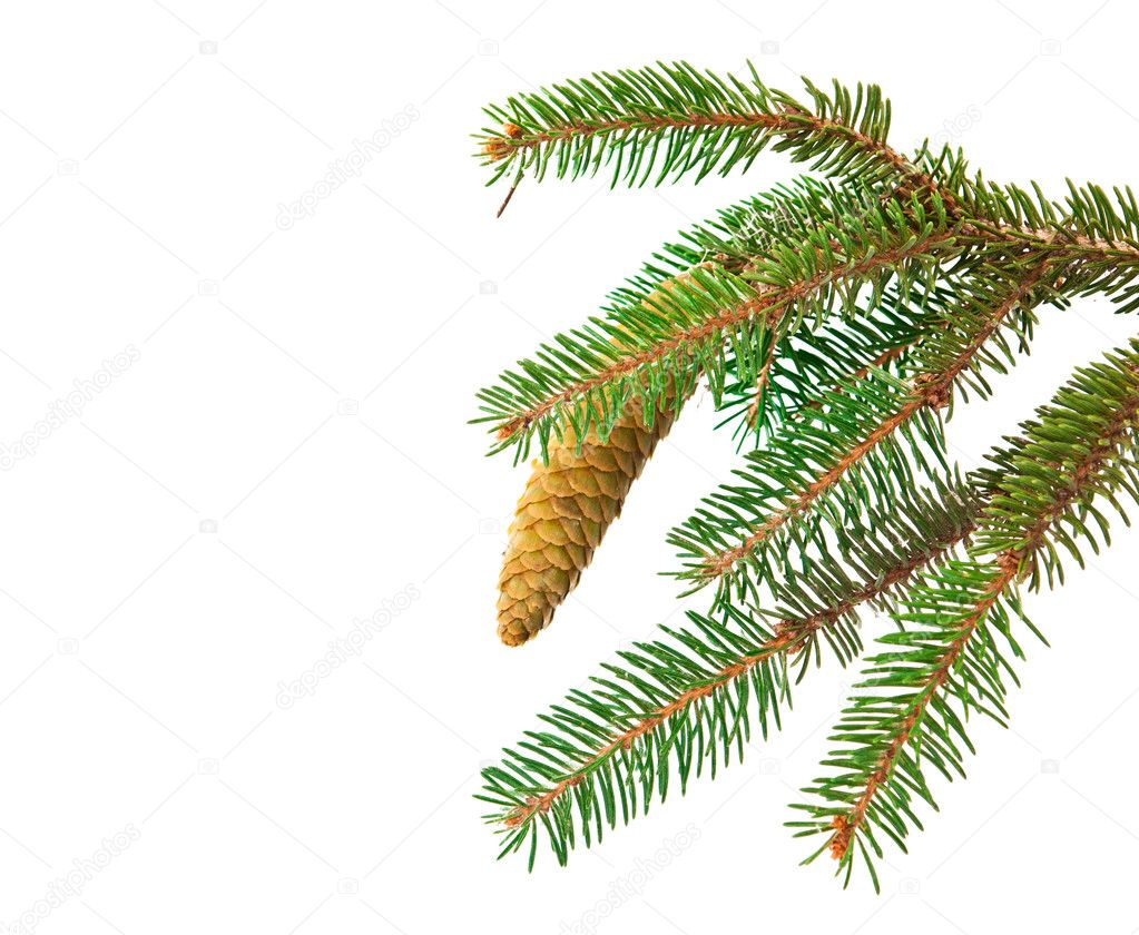 Spruce branch with cone isolated on white background  Foto de Stock   #11072804