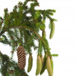 Spruce branch with cones isolated — 图库照片