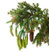 Spruce branch with cones isolated — Zdjęcie stockowe
