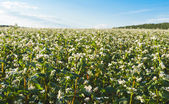 Buckwheat field — Stock Photo