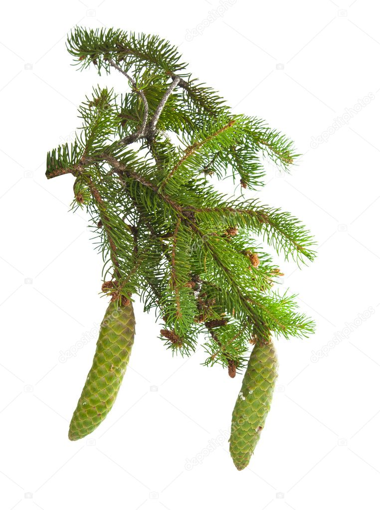 Spruce branch with cones isolated on white background — Stock Photo #11245372