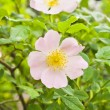 Rosa canina (Dog Rose) — Stock Photo