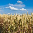Golden, ripe wheat — Stock Photo