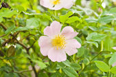 Rosa canina (Dog Rose) — 图库照片