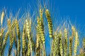 Espigas de trigo — Foto de Stock