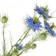 Cornflower isolated — Foto Stock