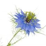 Cornflower isolated — Stock Photo