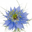 Cornflower isolated — Stock Photo #11363523