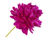 Peony isolated — Stock Photo