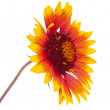 Gaillardia flower - Stockfoto