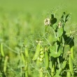 Peas growing - Stockfoto