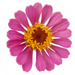 Pink Zinnia isolated - Stockfoto