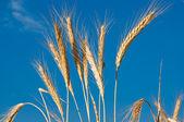 Golden, ripe wheat — Stock Photo