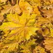 Foto de Stock  : Golden yellow leaves in autumn