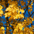 Golden yellow leaves — Stockfoto