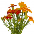 Marigold flower - Stock Photo