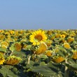 Field of sunflowers — Lizenzfreies Foto