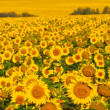 Field of yellow sunflowers. — Stock Photo