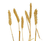 Wheat ears isolated — Stock Photo