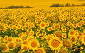Field of yellow sunflowers. — Stock Photo