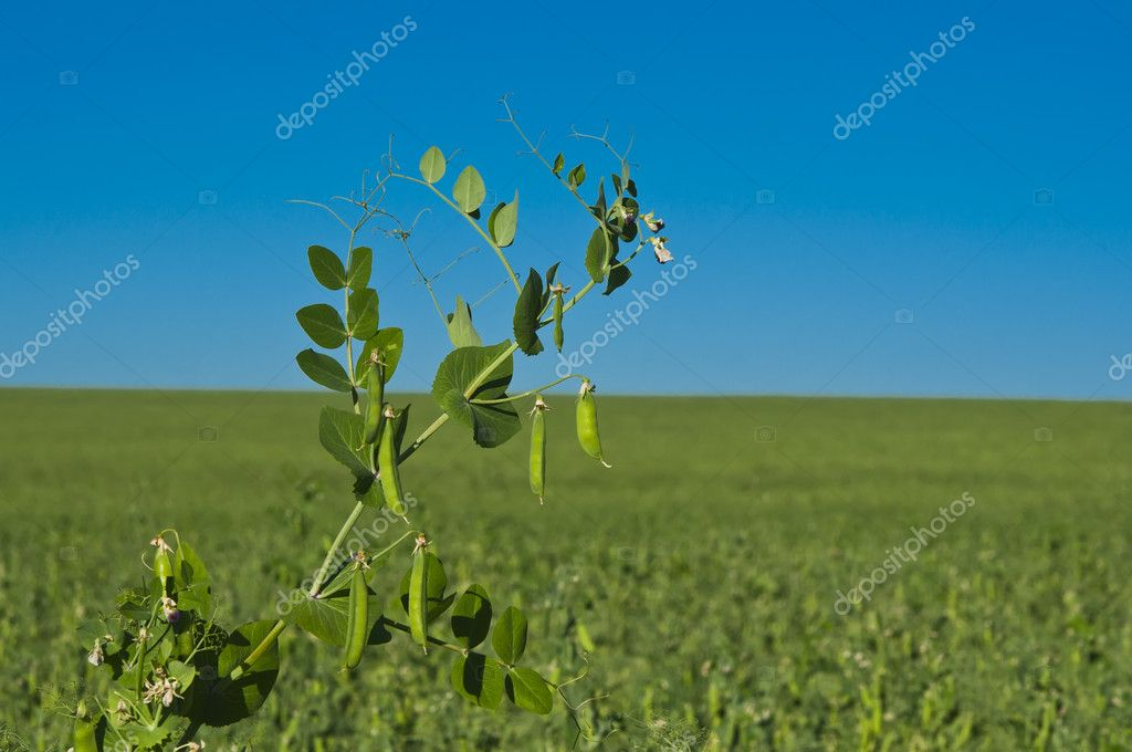 Peas growing on the farm — Stock Photo #11949772