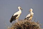 Storks in the nest — Stock Photo