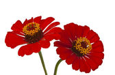 Red Zinnia isolated — Stock Photo