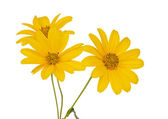 Yellow flower isolated — Stock Photo