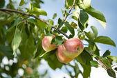 Kırmızı elma ile şube — Stok fotoğraf