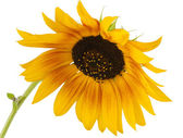 Yellow sunflower isolated — Stock Photo