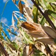 Yellow corn on a field — Stock Photo