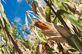 Yellow corn on a field — Stock Photo