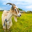 Brown and white goat in th field - Foto Stock