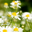 White beautifuls chamomiles on the green background. — Stock Photo #11348065