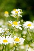 White beautifuls chamomiles on the green background. — Stock Photo
